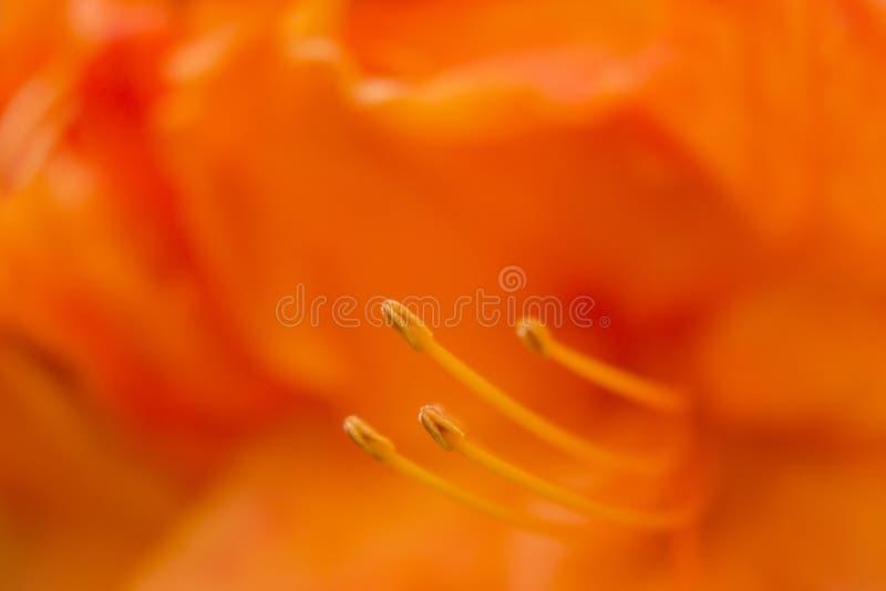 Πορτοκαλί άνθος στοκ εικόνες