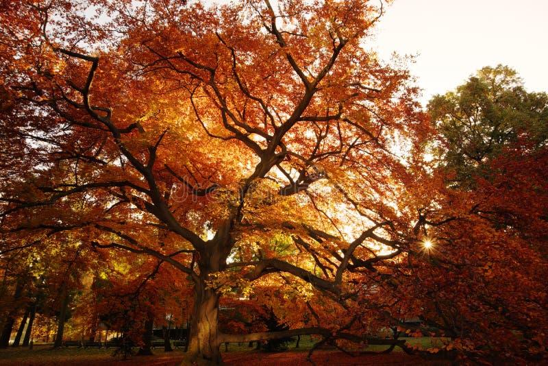 πορτοκαλί δέντρο φθινοπώρ& στοκ εικόνες με δικαίωμα ελεύθερης χρήσης