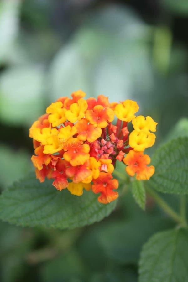 Πορτοκαλί και κόκκινο λουλούδι στοκ φωτογραφία