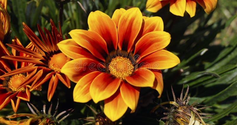 Πορτοκαλί και κόκκινο λουλούδι gazania στοκ εικόνες με δικαίωμα ελεύθερης χρήσης