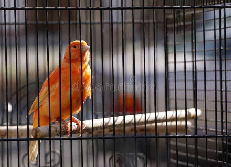 Πορτοκαλί καναρίνι στο κλουβί στοκ φωτογραφία με δικαίωμα ελεύθερης χρήσης