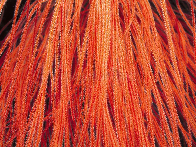 Πορτοκαλί μακρύ κοράλλι στοκ φωτογραφία με δικαίωμα ελεύθερης χρήσης