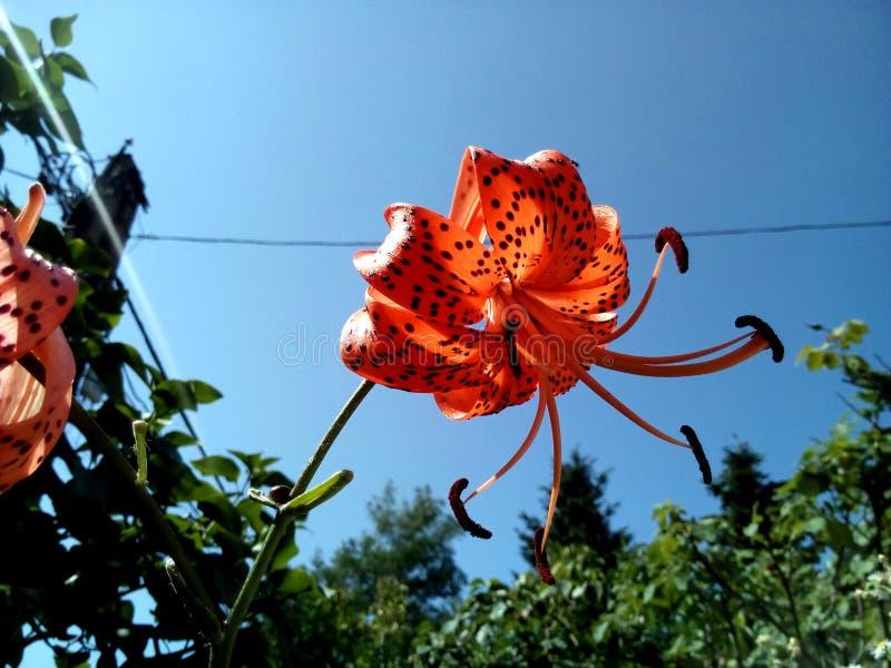 Πορτοκαλί λουλούδι κρίνων τιγρών που φυσιέται κατά το ήμισυ στοκ φωτογραφία με δικαίωμα ελεύθερης χρήσης