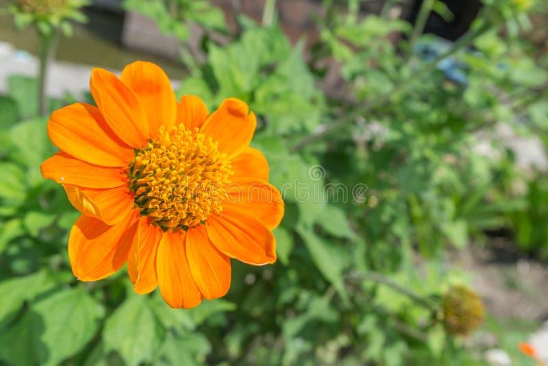 Πορτοκαλί λουλούδι της Zinnia στοκ εικόνα