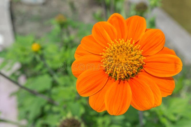 Πορτοκαλί λουλούδι της Zinnia στοκ εικόνες με δικαίωμα ελεύθερης χρήσης