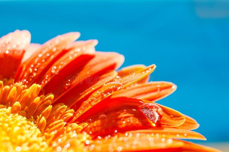 Πορτοκαλί λουλούδι gerbera με τις πτώσεις νερού στοκ εικόνα