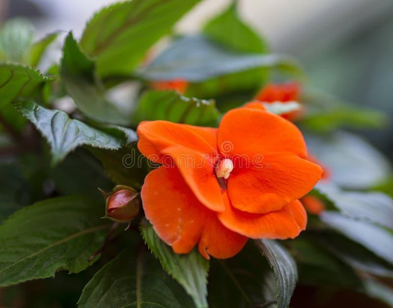 Πορτοκαλί λουλούδι (Impatiens) στοκ φωτογραφία