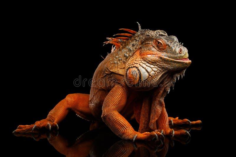 Πορτοκαλί πράσινο iguana που απομονώνεται στο μαύρο υπόβαθρο στοκ φωτογραφία