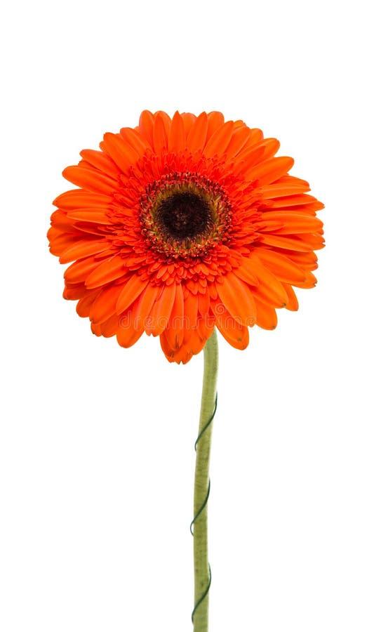 Πορτοκαλί gerbera στοκ φωτογραφία