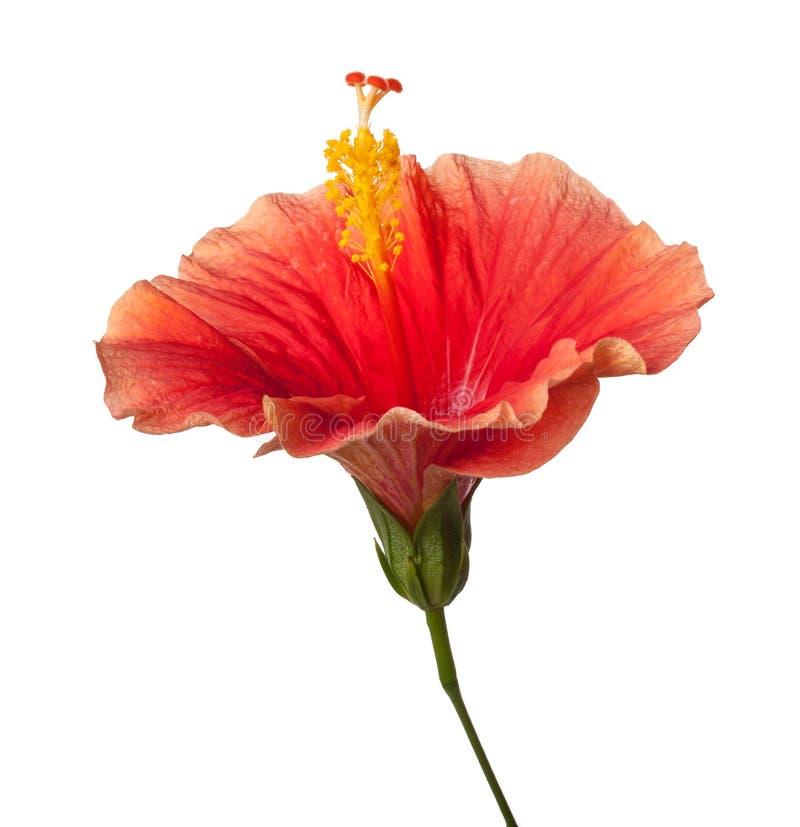 Πορτοκαλί Hibiscus τροπικό λουλούδι που απομονώνεται στοκ φωτογραφία με δικαίωμα ελεύθερης χρήσης