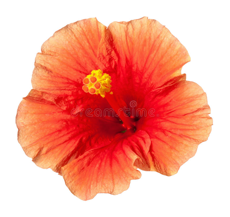 Πορτοκαλί Hibiscus τροπικό λουλούδι που απομονώνεται στοκ φωτογραφία
