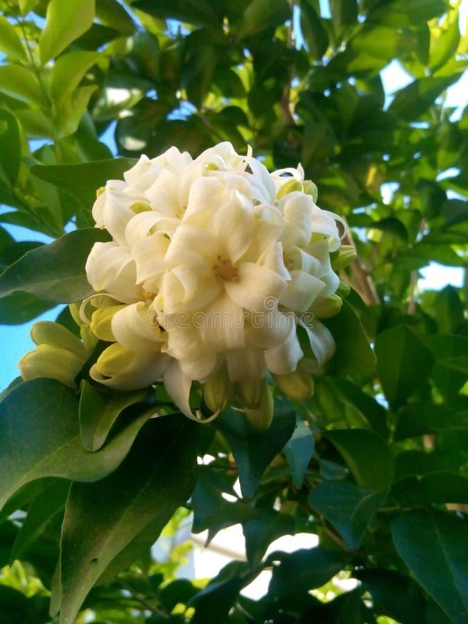 Πορτοκαλί jasmine στοκ φωτογραφίες με δικαίωμα ελεύθερης χρήσης