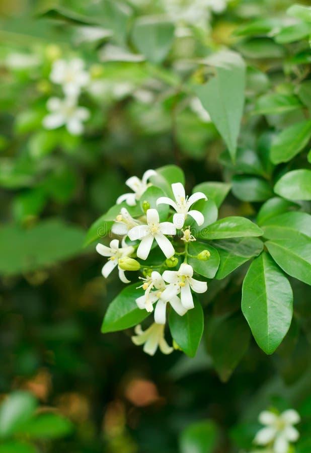 Πορτοκαλί jasmine στοκ εικόνες με δικαίωμα ελεύθερης χρήσης