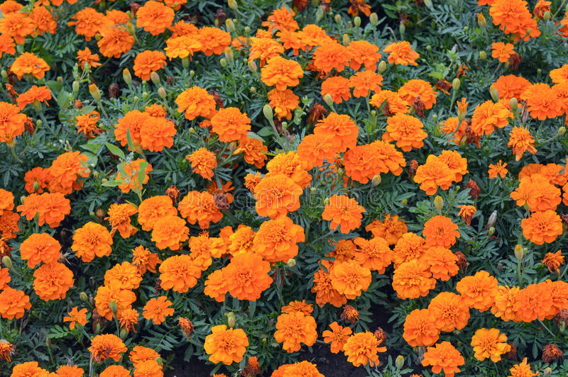 Πορτοκαλί marigold που ανθίζει μέσα στοκ φωτογραφίες με δικαίωμα ελεύθερης χρήσης