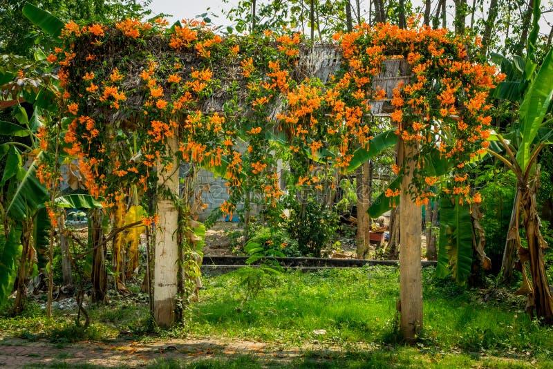 πορτοκαλιά άμπελος σαλπίγγων στοκ εικόνα με δικαίωμα ελεύθερης χρήσης