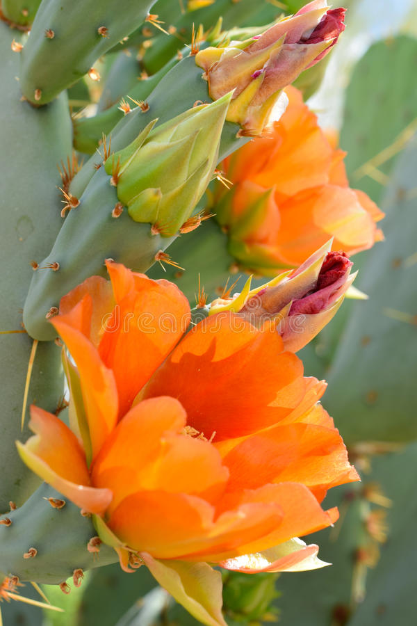 Πορτοκαλιά άνθιση κάκτων στοκ φωτογραφία με δικαίωμα ελεύθερης χρήσης