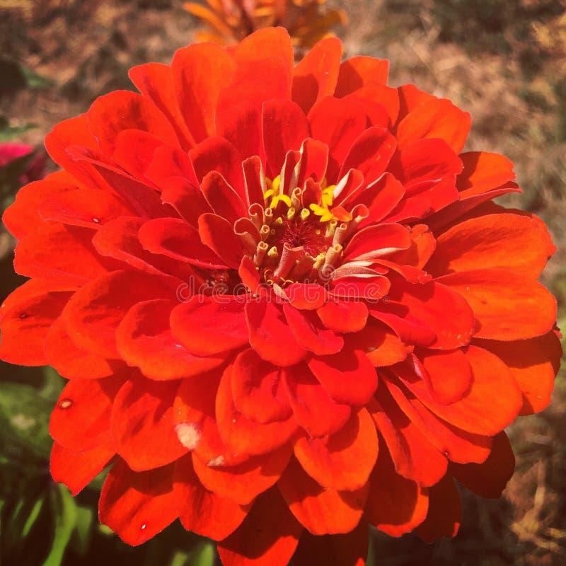 Πορτοκαλιά άνθιση της Zinnia στοκ εικόνα με δικαίωμα ελεύθερης χρήσης