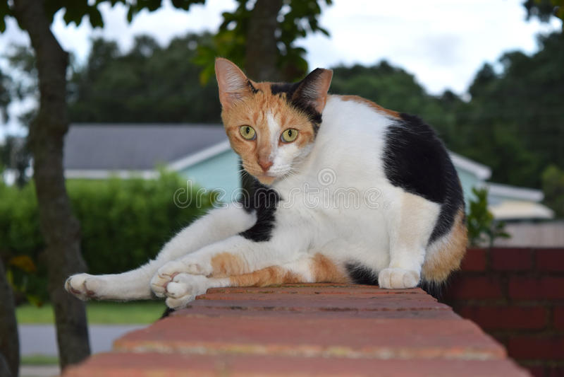 Πορτοκαλιά, γραπτή γάτα βαμβακερού υφάσματος στοκ φωτογραφία με δικαίωμα ελεύθερης χρήσης