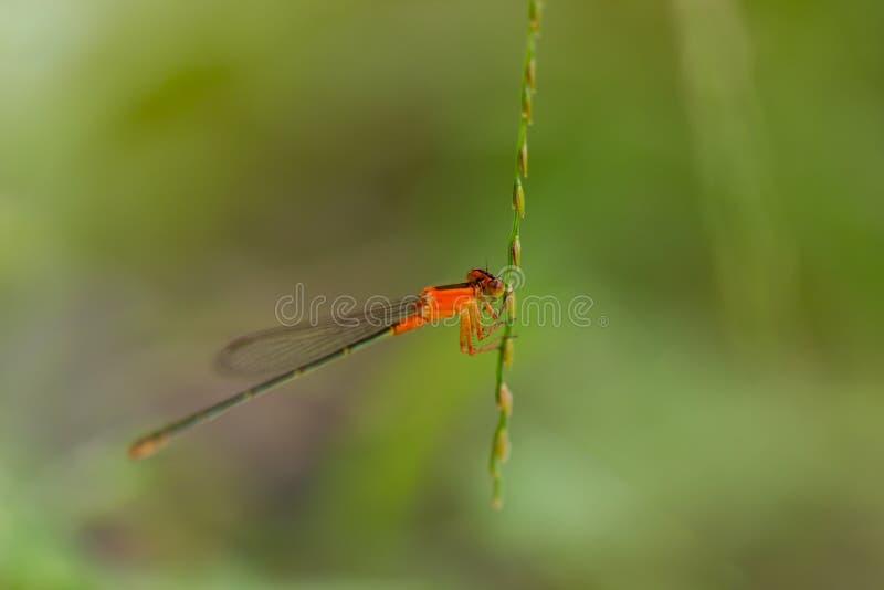 Πορτοκαλιά λιβελλούλη στοκ εικόνες