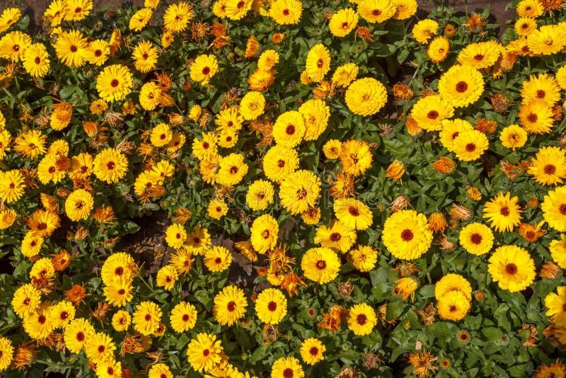 Πορτοκαλιά κίτρινα λουλούδια, κρεβάτι λουλουδιών στοκ φωτογραφίες