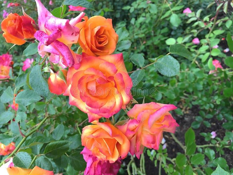 Πορτοκαλιά και ρόδινα τριαντάφυλλα στοκ φωτογραφίες με δικαίωμα ελεύθερης χρήσης