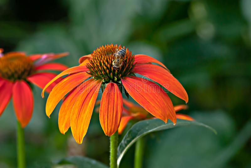 Πορτοκαλιά μέλισσα λουλουδιών κώνων στοκ εικόνα με δικαίωμα ελεύθερης χρήσης