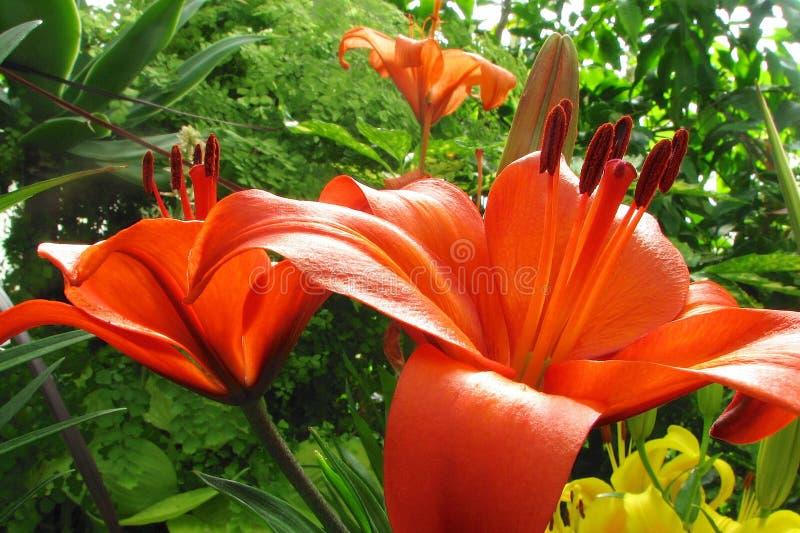 Πορτοκαλιά λουλούδια κρίνων στοκ φωτογραφίες