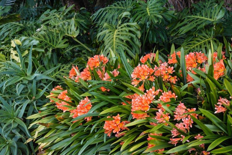 Πορτοκαλιά λουλούδια clivia που αυξάνονται στη δασώδη περιοχή στοκ φωτογραφία