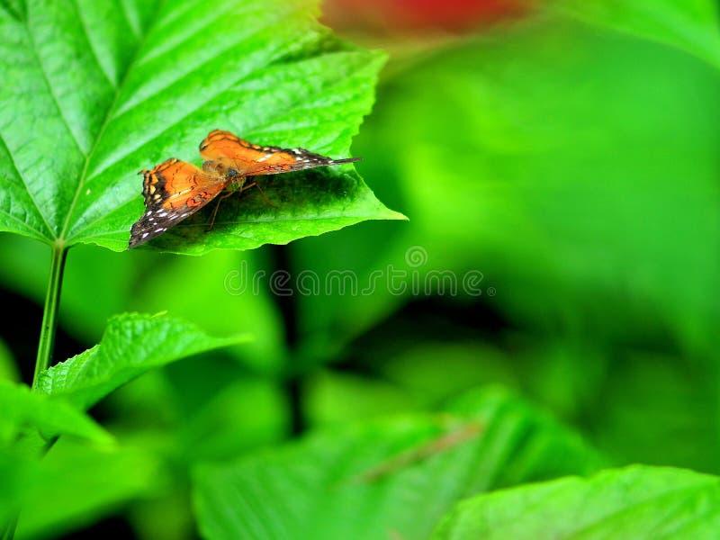 Πορτοκαλιά πεταλούδα κόλλεϊ στο πράσινο φύλλο στοκ φωτογραφία με δικαίωμα ελεύθερης χρήσης