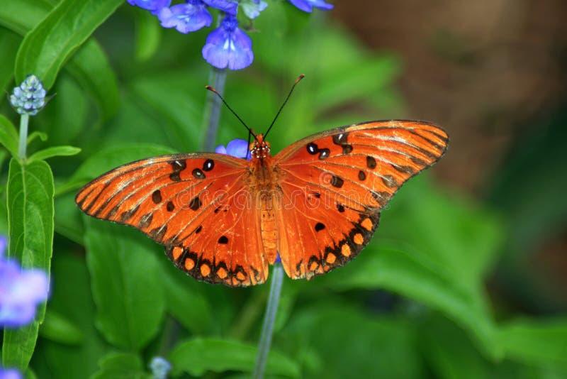 Πορτοκαλιά πεταλούδα στα μπλε λουλούδια στοκ φωτογραφία
