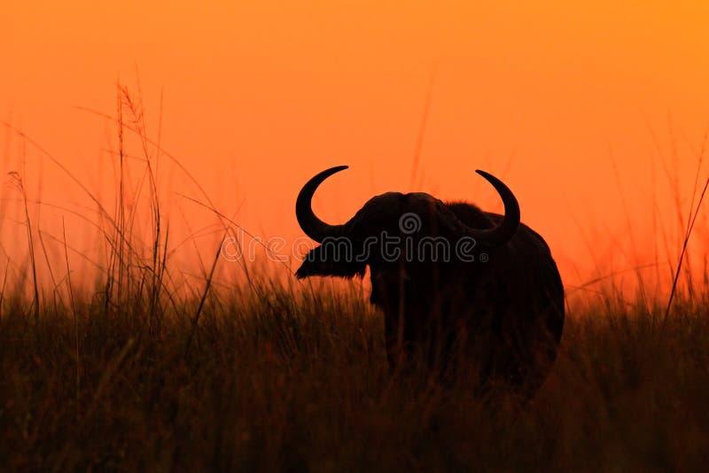 Πορτοκαλιά σκηνή ηλιοβασιλέματος βραδιού με τους βούβαλους από την Αφρική Αφρικανικό Buffalo, Cyncerus cafer, που στέκεται στην ό στοκ εικόνες