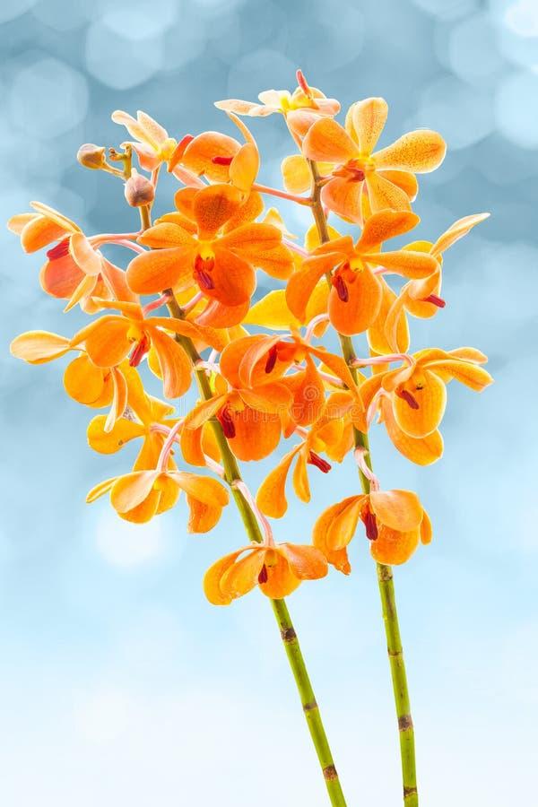Πορτοκαλιές ορχιδέες της Vanda ανθών στοκ εικόνες