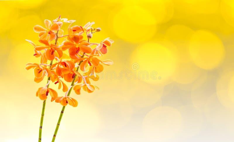 Πορτοκαλιές ορχιδέες της Vanda ανθών στοκ εικόνα με δικαίωμα ελεύθερης χρήσης