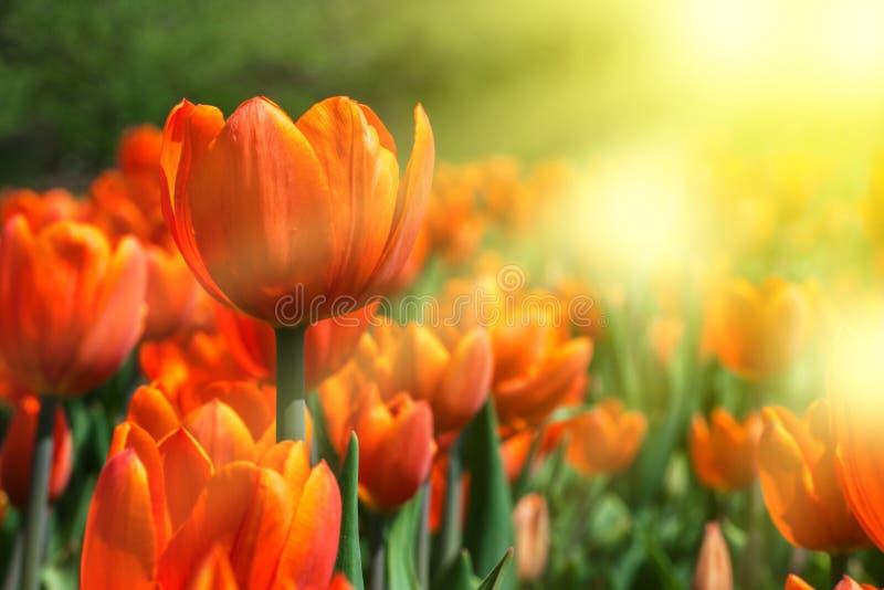πορτοκαλιές τουλίπες στοκ φωτογραφία