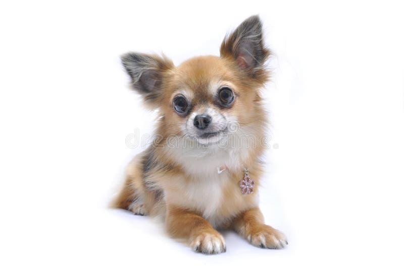 Πορτρέτα σκυλιών της Lara στοκ εικόνες