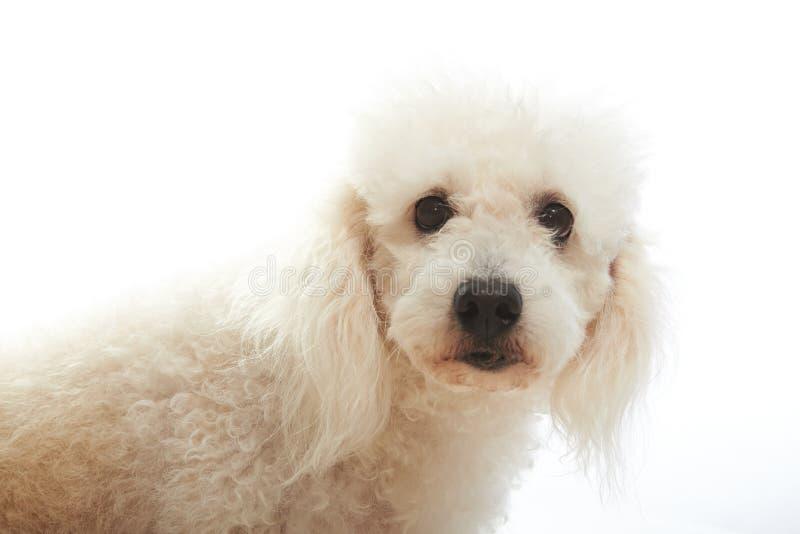 Πορτρέτο άσπρο poodle στοκ φωτογραφία με δικαίωμα ελεύθερης χρήσης