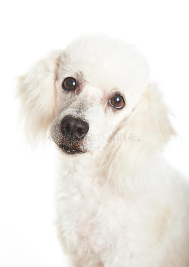 Πορτρέτο άσπρο poodle στοκ εικόνες