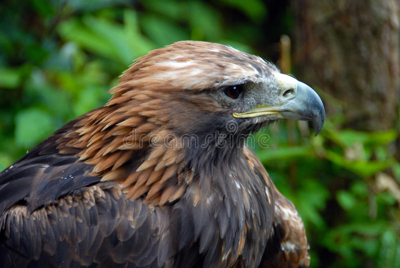 Download πορτρέτο αετών στοκ εικόνα. εικόνα από κοιτάξτε, φτερό - 13186647