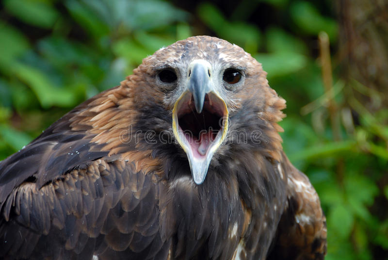 Download πορτρέτο αετών στοκ εικόνες. εικόνα από πράσινος, φτερό - 13186710