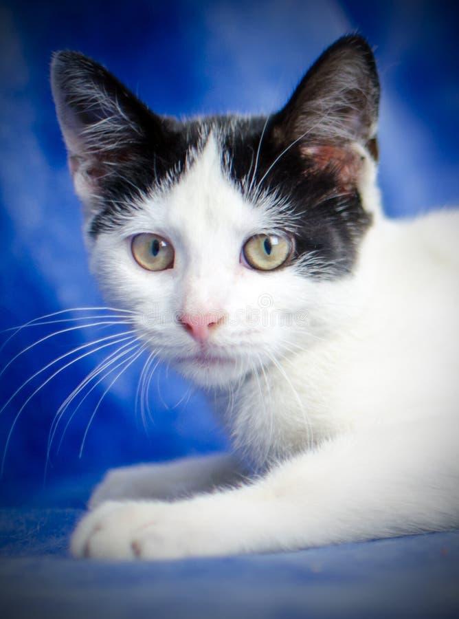 Πορτρέτο γατακιών σμόκιν στοκ εικόνα με δικαίωμα ελεύθερης χρήσης