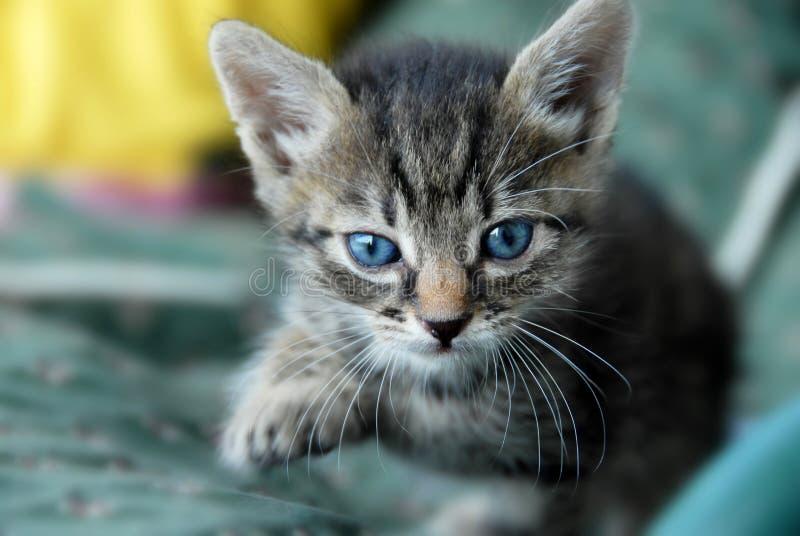 πορτρέτο γατών μωρών στοκ φωτογραφία με δικαίωμα ελεύθερης χρήσης