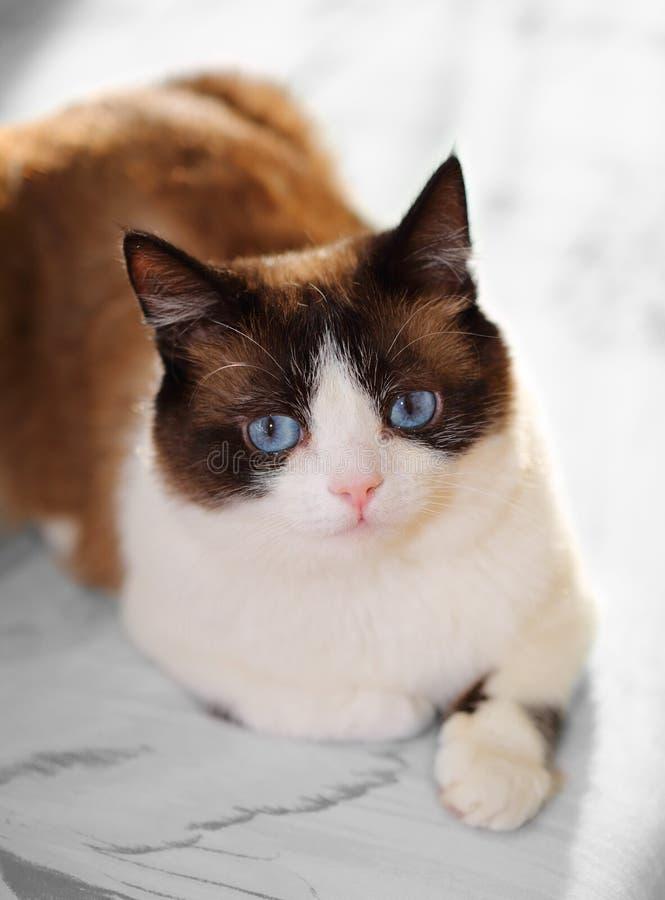Πορτρέτο γατών πλεγμάτων σχήματος ρακέτας στοκ φωτογραφία με δικαίωμα ελεύθερης χρήσης