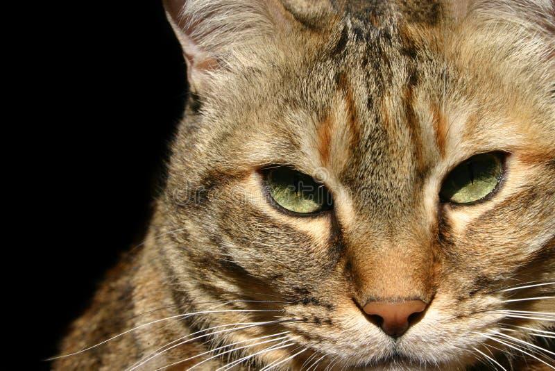πορτρέτο γατών τιγρέ στοκ εικόνες