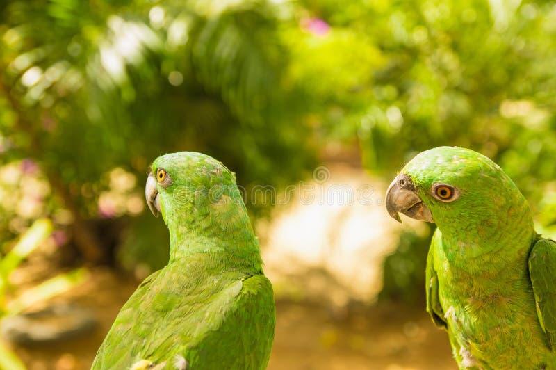 Πορτρέτο δύο πράσινων παπαγάλων, τυρκουάζ-αντιμετωπισμένη Αμαζώνα, aestiva Amazona, Κόστα Ρίκα Σκηνή άγριας φύσης από την τροπική στοκ φωτογραφία
