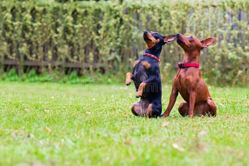 Πορτρέτο δύο σκυλιών ενός μικροσκοπικών pinscher στοκ φωτογραφία