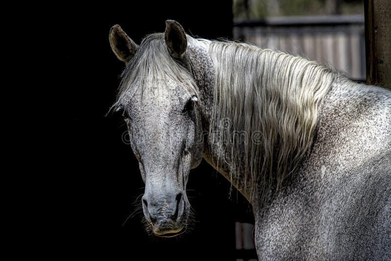 Πορτρέτο ενός άσπρου αλόγου στοκ εικόνα με δικαίωμα ελεύθερης χρήσης