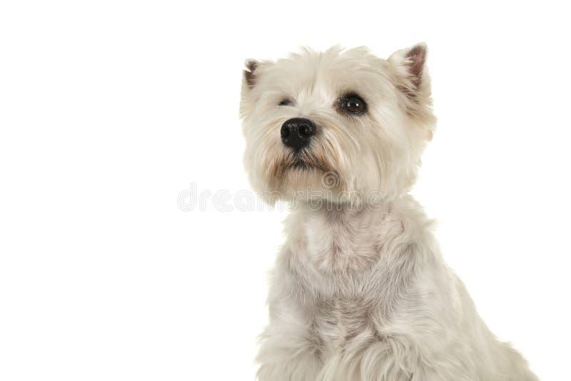 Πορτρέτο ενός άσπρου κοιτάγματος τεριέ ή westie σκυλιών δυτικών ορεινών περιοχών στοκ εικόνα με δικαίωμα ελεύθερης χρήσης