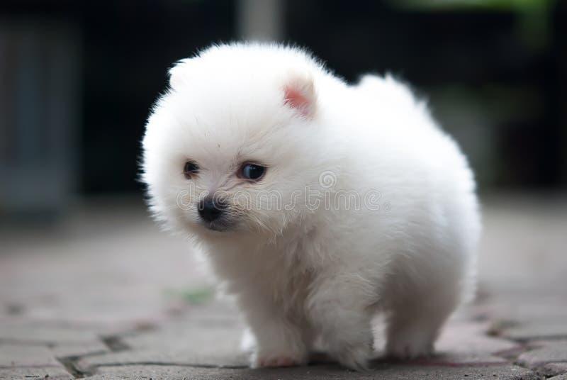 Download Πορτρέτο ενός άσπρου κουταβιού Pomeranian Στοκ Εικόνα - εικόνα από γούνα, εσωτερικός: 62722467