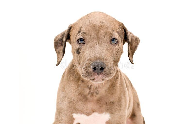 Πορτρέτο ενός λατρευτού κουταβιού pitbull στοκ εικόνα