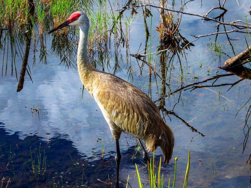 Πορτρέτο ενός γερανού Sandhill, που σε μια λίμνη έλους στην αγριότητα Apoxee της Φλώριδας Everglades στοκ φωτογραφίες